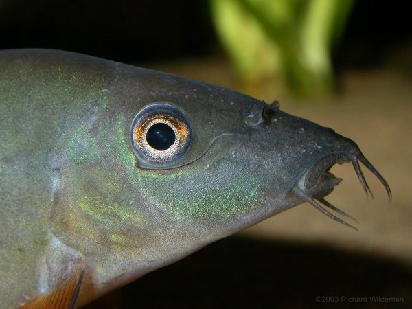Yasuhikotakia modesta - Head profile closeup