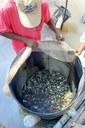 Yasuhikotakia modesta - Freshly caught wild fish