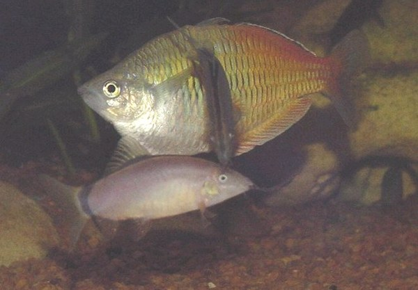 Yasuhikotakia morleti - Newly introduced fish is attacked by existing resident