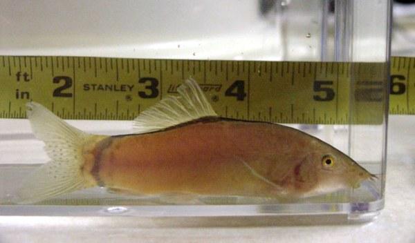 Yasuhikotakia morleti -adult