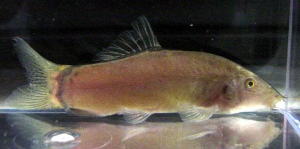 Yasuhikotakia morleti - adult